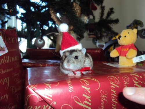 hamster in a christmas hat