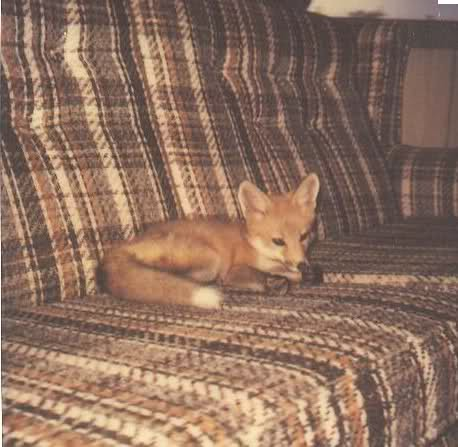 fox on a couch
