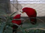 two red parrots at butterfly world