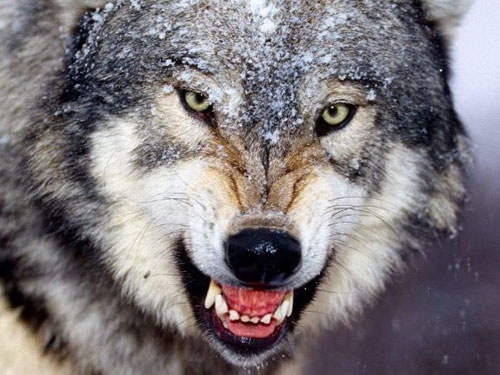 angry wolf snarling